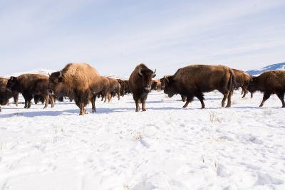 Bison in the 24,700-Acre National Elk Refuge Near Jackson, Wyoming-Charlie Hamilton James-Photographic Print