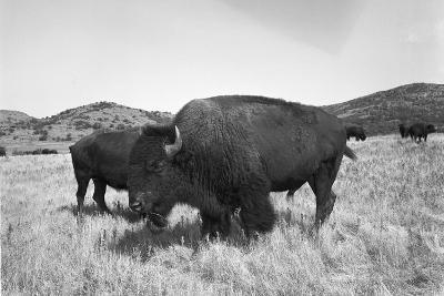 Bison in Wildlife Refuge-Philip Gendreau-Photographic Print