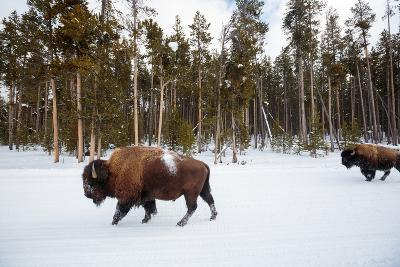 Bison In Yellowstone National Park In Winter-Ben Herndon-Photographic Print