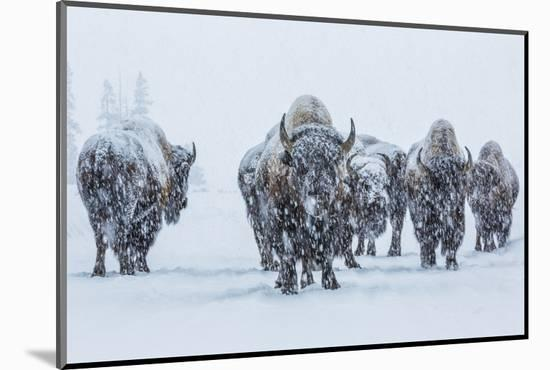 Bison in Yellowstonre National Park-Art Wolfe-Mounted Photographic Print