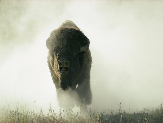 Bison Kicking up Dust-Lowell Georgia-Photographic Print