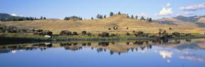 Bison, Lamar Valley, Yellowstone National Park, Wyoming, USA