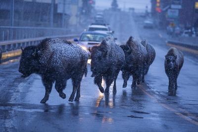 https://imgc.artprintimages.com/img/print/bison-migrating-out-of-yellowstone-national-park-cross-a-highway-bridge-into-gardiner_u-l-q13hvn70.jpg?p=0