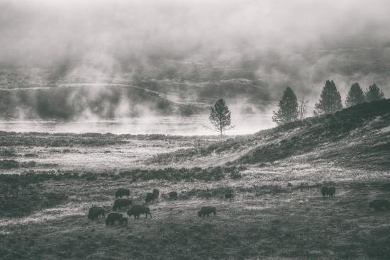 Bison Mist Landscape, Hayden Valley Yellowstone-Vincent James-Photographic Print