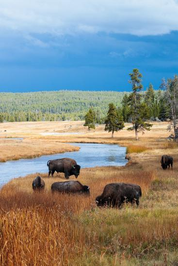 Bison Near Nez Perce Creek On A Stormy Day In Yellowstone National Park In Autumn-Ben Herndon-Photographic Print