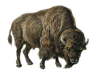 Bison, or American Buffalo--Giclee Print