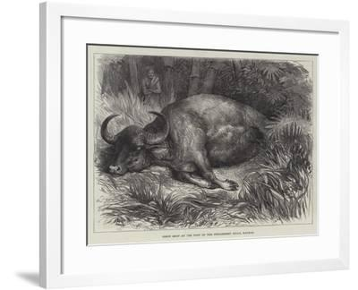 Bison Shot at the Foot of the Neilgherry Hills, Madras--Framed Giclee Print