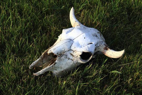 Bison Skull-Little turtle-Photographic Print