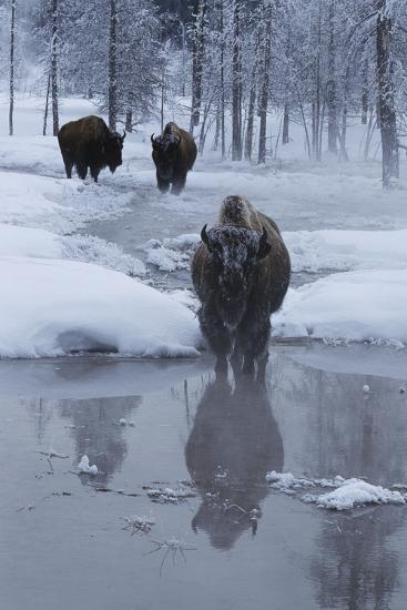 Bison Standing along a Stream in Winter-W^ Perry Conway-Photographic Print