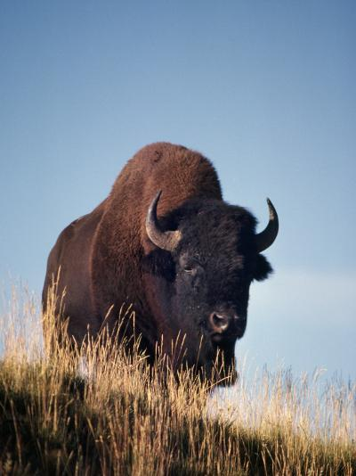 Bison Stands on Hill-Jeff Foott-Photographic Print