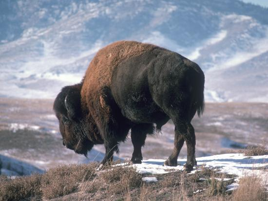 Bison Stands on Snowy Hill-Jeff Foott-Photographic Print