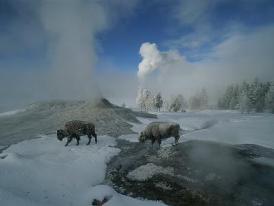 Bison Walking in Front of Lion Geyser in Deep Winter-Norbert Rosing-Photographic Print
