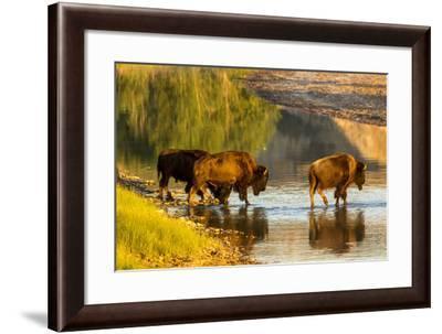 Bison Wildlife Crossing Little Missouri River, Theodore Roosevelt National Park, North Dakota, USA-Chuck Haney-Framed Photographic Print
