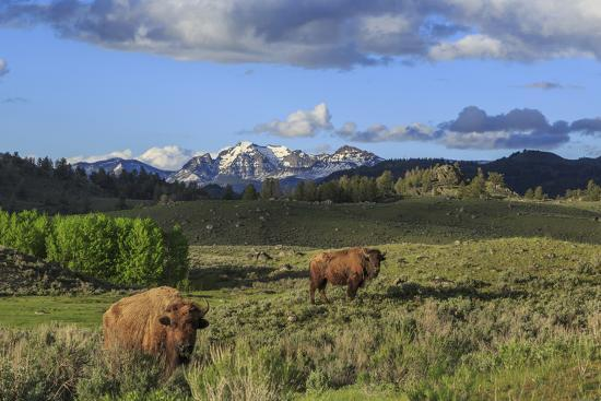 Bison with Mountains (YNP)-Galloimages Online-Photographic Print