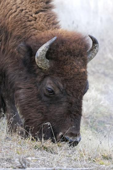 Bison, Yellowstone National Park, Montana, Wyoming-Adam Jones-Premium Photographic Print