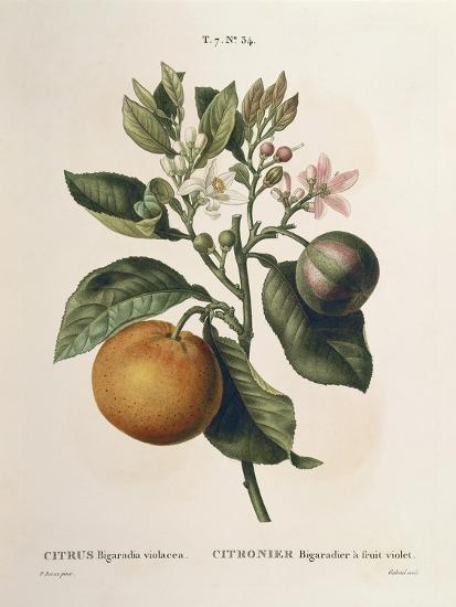 Bitter Orange (Citrus Aurantium) with Violet Fruit by Pierre Joseph Redoute (1759-1840)--Giclee Print