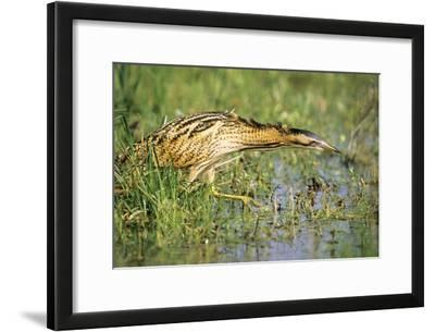 Bittern Outside Reed Beds, Searching for Prey