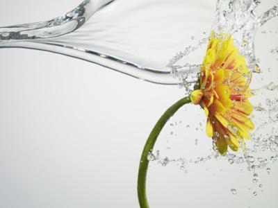 Water Splashing Daisy by Biwa