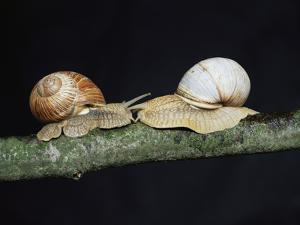 Burgundy Snails by Bjorn Svensson