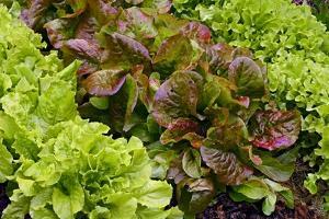 Lettuce by Bjorn Svensson