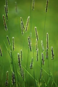 Meadow Foxtail (Alopecurus Pratensis) by Bjorn Svensson