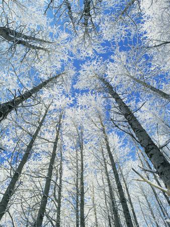 Snow Covered Aspen (Populus Tremula) by Bjorn Svensson