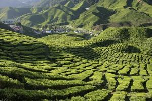 Tea (Camellia Sinensis) Estate by Bjorn Svensson