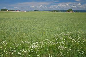 Wheat Field by Bjorn Svensson