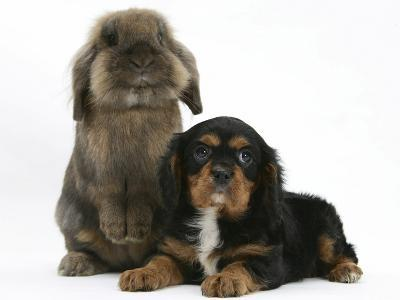 Black-And-Tan Cavalier King Charles Spaniel Puppy and Lionhead Rabbit-Mark Taylor-Photographic Print