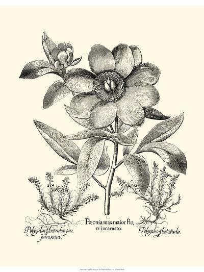 Black and White Besler Peony I-Besler Basilius-Art Print