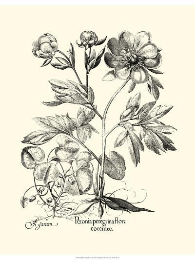 Black and White Besler Peony III-Besler Basilius-Art Print
