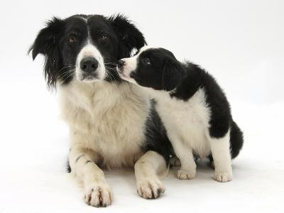 Black-And-White Border Collie Bitch, and Pup, 6 Weeks-Mark Taylor-Photographic Print