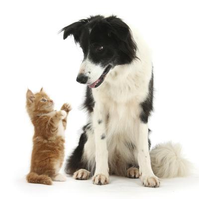 Black-And-White Border Collie Looking at Ginger Kitten-Mark Taylor-Photographic Print