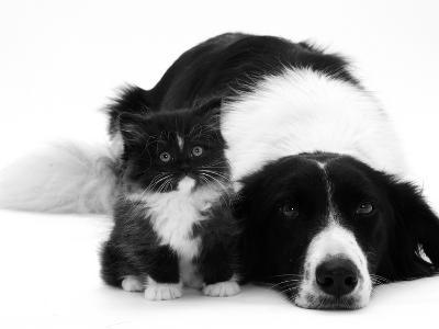 Black-And-White Border Collie Lying Chin on Floor with Black-And-White Kitten-Jane Burton-Photographic Print