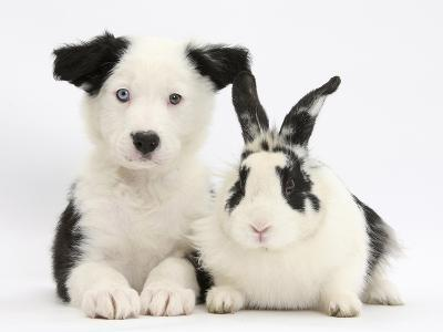 Black and White Border Collie Puppy and Black and White Rabbit-Mark Taylor-Photographic Print