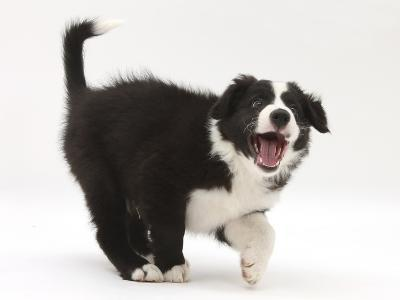 Black-And-White Border Collie Puppy Barking-Mark Taylor-Photographic Print