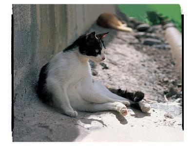 Black And White Cat Resting--Art Print