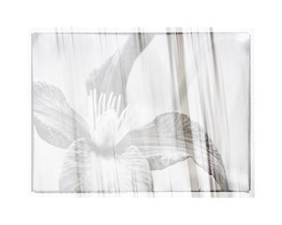 https://imgc.artprintimages.com/img/print/black-and-white-clematis_u-l-f8vfks0.jpg?p=0