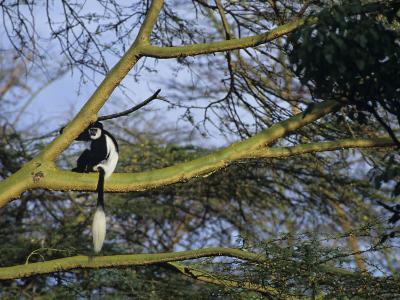 Black and White Colobus Monkey, Colobus Angolensis, Nakuru National Park, Kenya, Africa-Joe & Mary Ann McDonald-Photographic Print