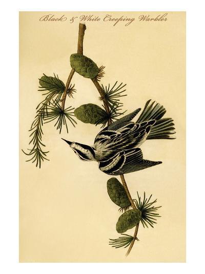 Black and White Creeping Warbler-John James Audubon-Art Print