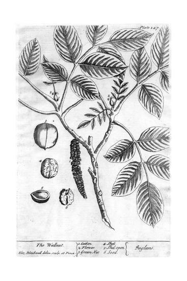 Black and White Drawing of a Branch with Leaves and Seeds--Art Print