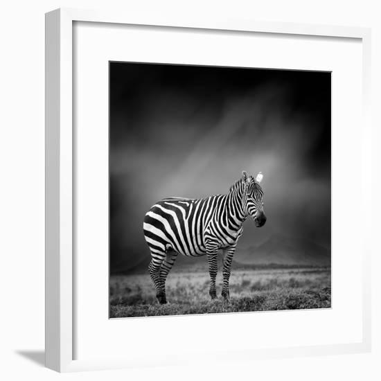 Black and White Image of A Zebra-byrdyak-Framed Photographic Print