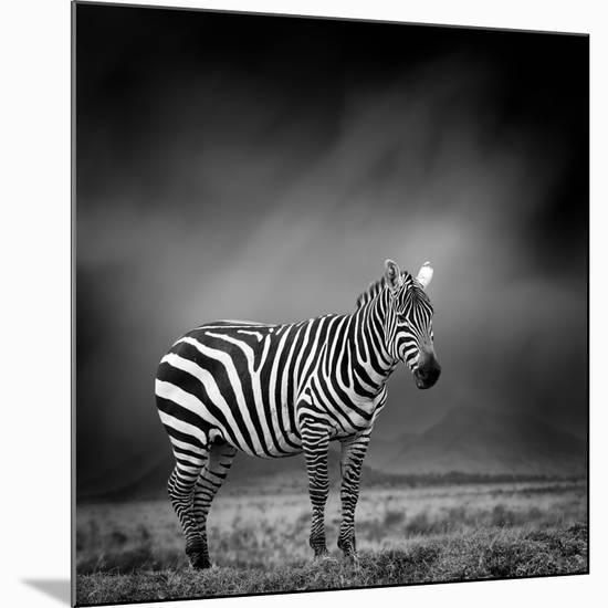 Black and White Image of A Zebra-byrdyak-Mounted Photographic Print