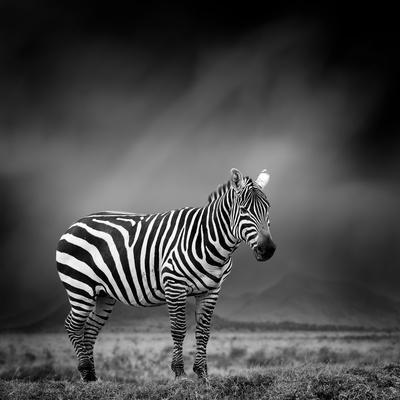 https://imgc.artprintimages.com/img/print/black-and-white-image-of-a-zebra_u-l-q1bxpf30.jpg?p=0