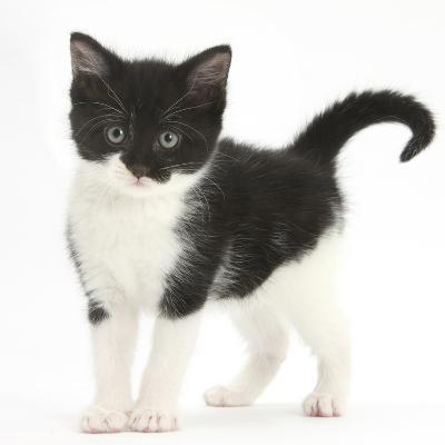 Black-And-White Kitten Standing, Against White Background Digitally Enhanced-Mark Taylor-Photographic Print