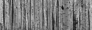Black and White of Aspen Trees, Alberta, Canada