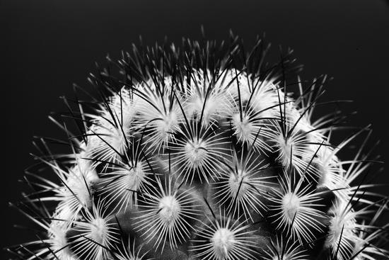 Black and White Pattern of Small Cactus Spines-Adam Jones-Photographic Print