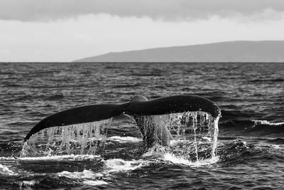 https://imgc.artprintimages.com/img/print/black-and-white-photo-of-a-humpback-whale-s-tail_u-l-pncdz00.jpg?p=0