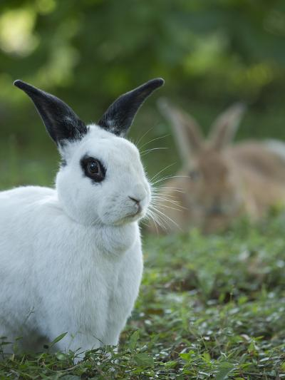 Black and White Rex Rabbit with Doe in Background, Oryctolagus Cuniculus-Maresa Pryor-Photographic Print