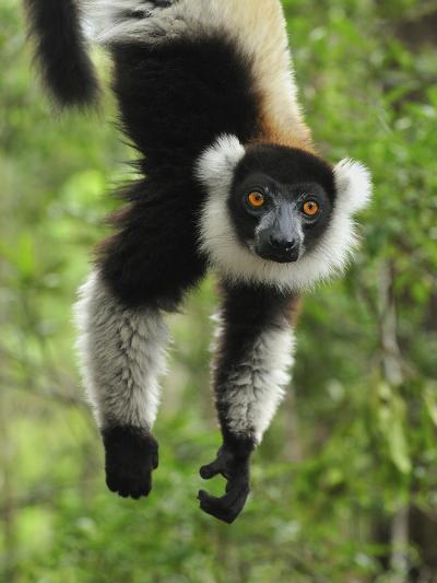 Black-And-White Ruffed Lemur Hanging from a Branch by its Tail-Thomas Marent-Photographic Print
